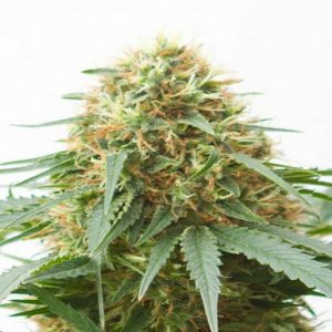 northern-light-feminized-seeds